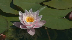 Beautiful Pink water lily Stock Footage