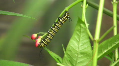Monarch, Danaus plexippus, caterpillar feeding leaves.  Stock Footage