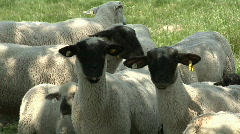 Black and white sheep grazing - stock footage