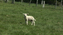 White lamb Stock Footage