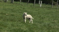 Stock Video Footage of White lamb