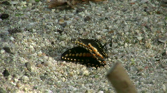 Heliconius hecale, Butterfly house, Munich, Germany  Stock Footage