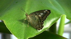 Parthenos, sylvia, Butterfly house, Munich, Germany  Stock Footage