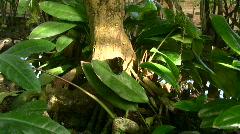 Morpho peleides butterfly, Stock Footage