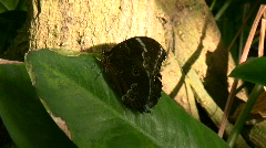 Morpho peleides butterfly Stock Footage
