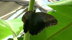 Owl butterfly, Caligo Eurilochus butterfly Stock Footage