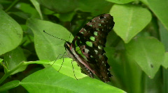Graphium agamemnon butterfly Stock Footage