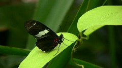Heliconius melpomene butterfly Stock Footage