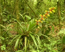 Bromeliad flowering in cloudforest Stock Footage