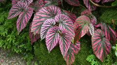 Begonia, brevirimosa, Irmscher, New guinea, Stock Footage