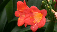 Clivia miniata, Amaryllidaceae from S. Africa Stock Footage