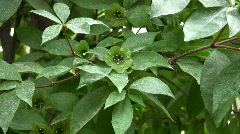 Theophrastaceae, Deherainia smaragdina, Mexico - stock footage
