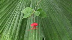 Hibiscus Grandidieri, Malvaceae Stock Footage