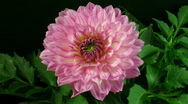 Stock Video Footage of Time-lapse of blooming pink dahlia 2