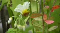 Stock Video Footage of Sparmannia africana, Tiliaceae,