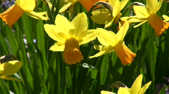 Daffodils blossom in spring time Stock Footage