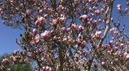 Magnolia, Soulangiana, Speciosa Stock Footage