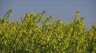 Rape field Alternative Clean Green energy Stock Footage