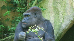 Gorilla Protects Food - stock footage