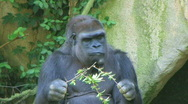 Stock Video Footage of Gorilla Protects Food