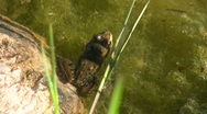 Frog croaking in pond Stock Footage