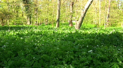 Wild garlic, Allium ursinum during spring on Gotland Stock Footage