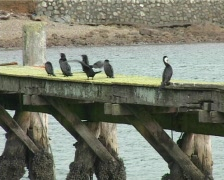 Shags on jetty Stock Footage