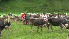 German farmer driving cattles down from Alps Stock Footage