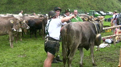 German farmer driving cattles down from Alps - stock footage