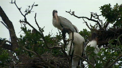 Wood storks and nests in tree Stock Footage