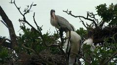 Puu haikaraa pesii puussa Arkistovideo