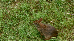 Rabbit eating grass in field Stock Footage