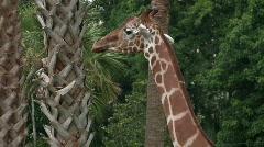 Giraffe among palm trees Stock Footage
