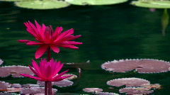 Red water flowers and lily pads close up Stock Footage