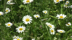 Essence of spring. Daisies sway in breeze. Stock Footage