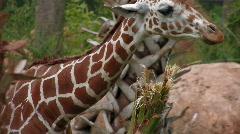 Giraffe eating on bush Stock Footage