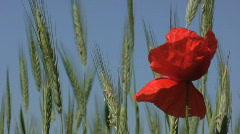 Poppy flowers in a Rye field during summertime Stock Footage