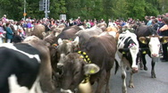 Cattles drive down from Alps, Germany Stock Footage