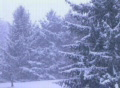 Pine Trees in Snowstorm SD Footage