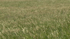 Grass in the Wind 4 Stock Footage
