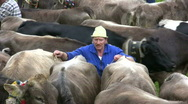 Stock Video Footage of German farmer driving cattles down from Alps
