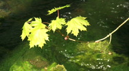 Stock Video Footage of leafs and water
