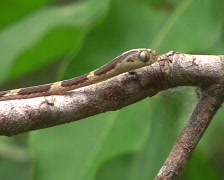 Common blunt-headed tree snake (Imantodes cenchoa) Stock Footage