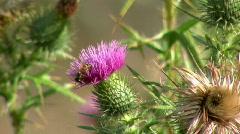 Scotch Thistle Flower käynyt Bee (hidastettu) Arkistovideo