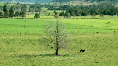 Dead Tree and Cow on Dairy Farm Stock Footage