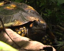 Yellow-footed tortoise (Geochelone denticulata) Stock Footage