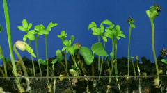 Time-lapse of growing vegetables 1  Stock Footage