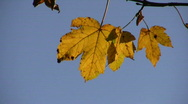 Golden autumn leaves hanging on tree Stock Footage