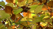Stock Video Footage of Golden autumn leaves hanging on tree