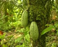 Cocoa pods (Theobroma cacao) - stock footage